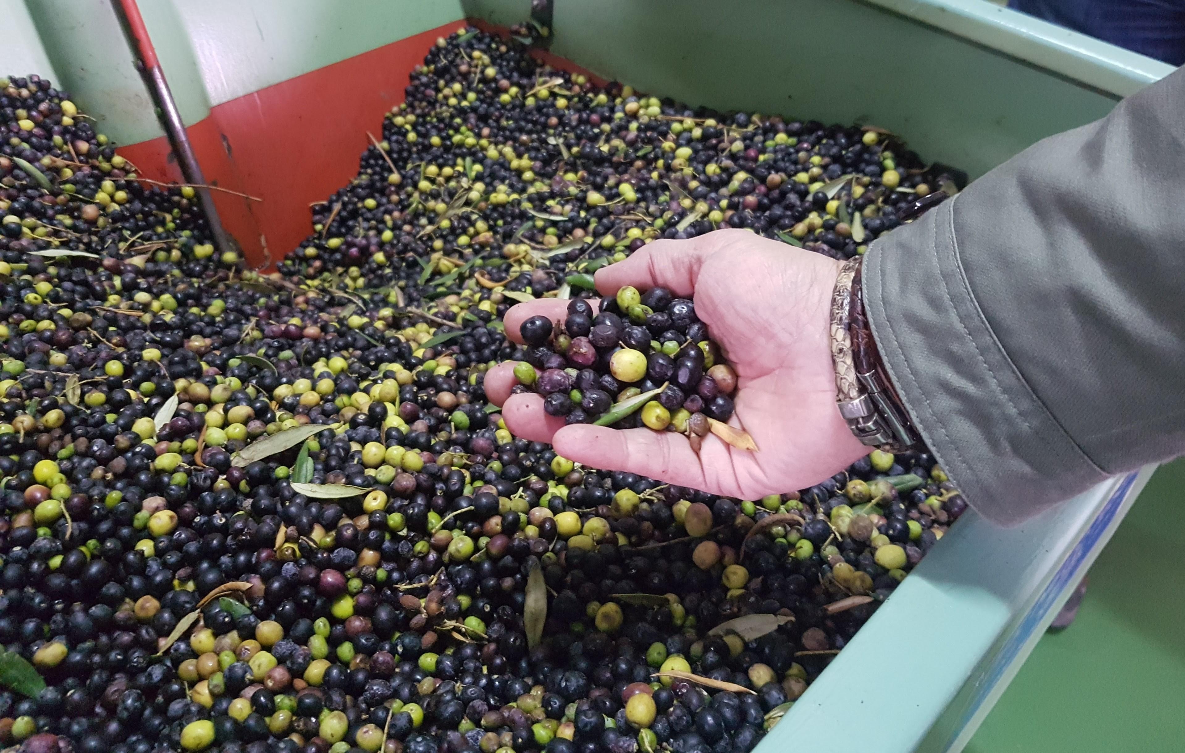 El fruto del olivo llega a la Almazara, para transformarlo en aceite