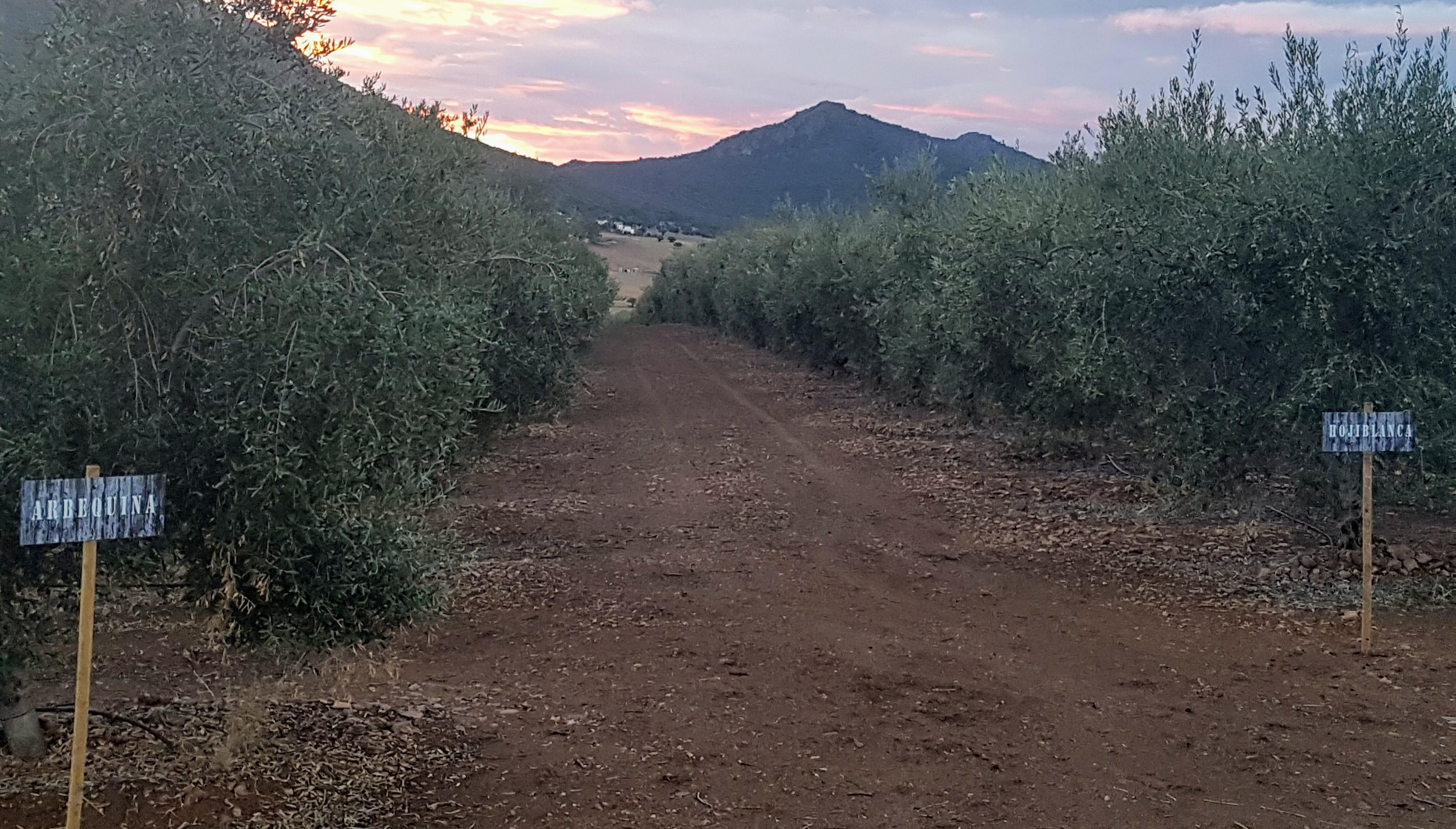 Las variedades de la aceituna delimitaban las calles del olivar